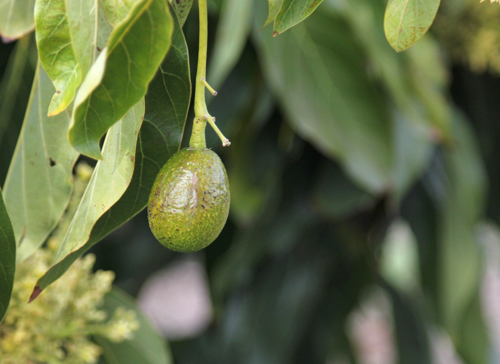 Baby California Avocado on the tree