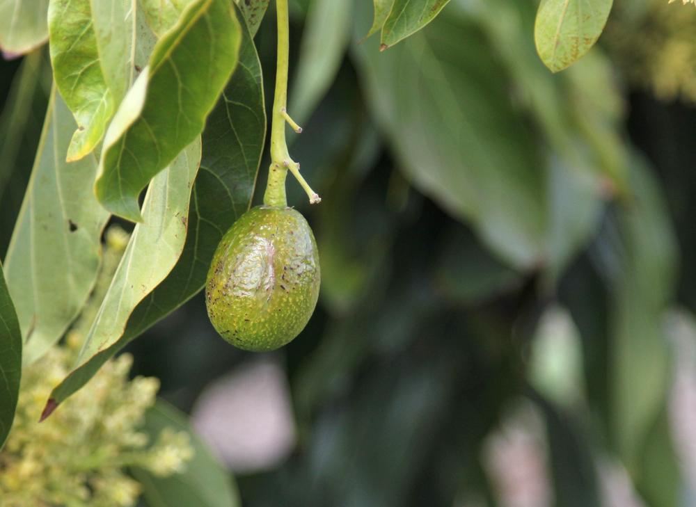Baby California Avocado on the tree